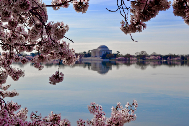 A photo of the Jefferson Memorial ringed by cherry blossoms